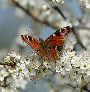 april-butterfly