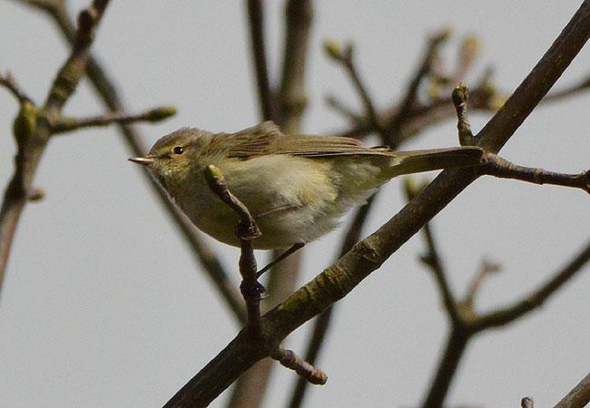 april-warbler