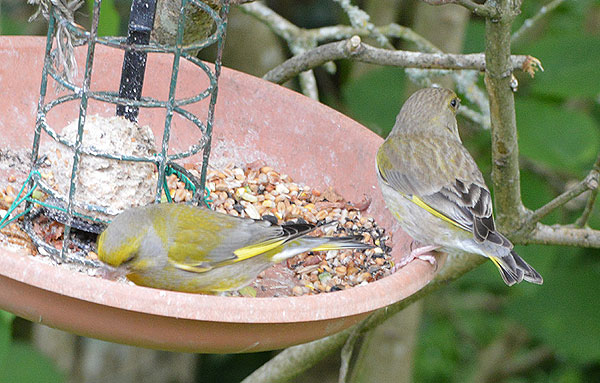 Male and Female Greenfinches