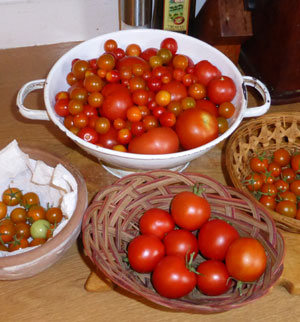 tomatoes from the greenhouse