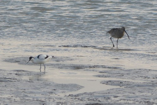 Curlew and Avocet at Oare Marshes, Kent