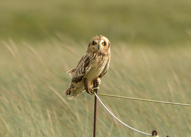 Short Eared Owl at Sandwich