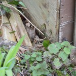 Lizards under Shed