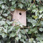 Tit Box in Ivy