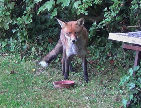 Fox feeding in the garden