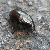 Ground Beetle