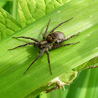 Spiders for garden growth