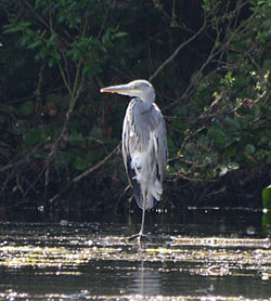 Conningbrook Lakes Country Park - Heron on Eco Lake