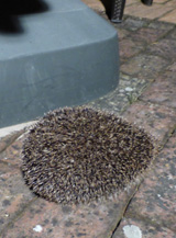 hedgehog searching for food