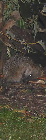 Hedgehog in Garden - night time