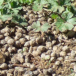 Rabbit droppings in the Garden
