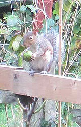 Squirrel eating nut on fence