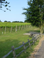 Vines in Kent