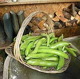 Harvesting your Broad Beans