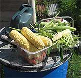 Sweet Corn harvesting