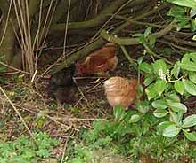 Chickens scraping in hedge