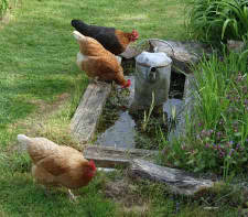 Chickens drinking pond water