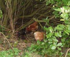 Chickens in overgrowth