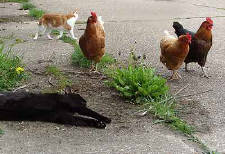 Chickens and Cats together