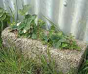 Growing Strawberries in Cavity Wall