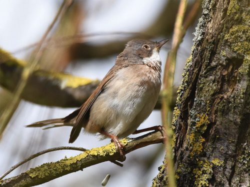 Whitethroat Bird UK