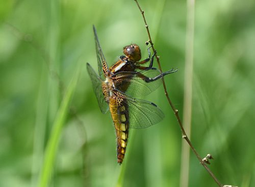 Four Spotted Chaser Dragon Fly
