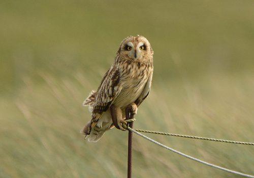 Short Eared Owl at Sandwich, Kent