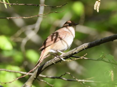 Nightingale at Parkwood