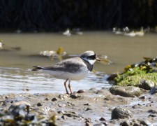 Ringed Plover at Rye Harbour