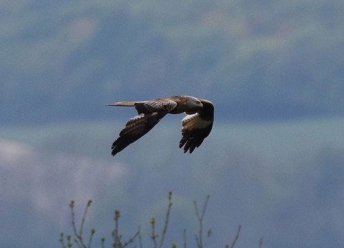 Red Kite over Wye Downs Kent