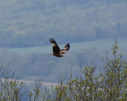 Red Kite at Wye