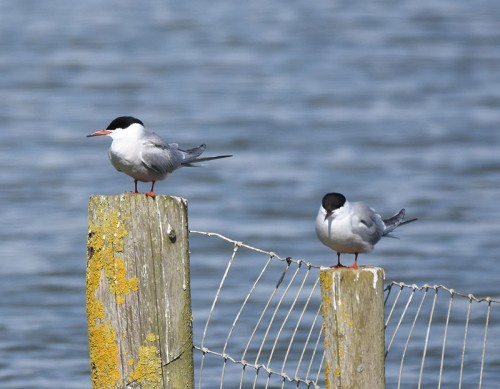 Common Terns at Pett Level