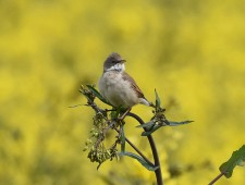 Whitethroat on Rapeseed plant