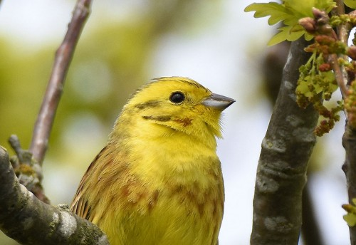Close up of Yellowhammer head