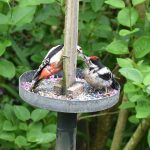 Mother feeding baby Greater Spotted Woodpecker