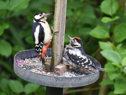 Mother and son Greater Spotted Woodpeckers