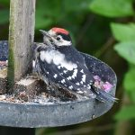 Juvenile male Greater Spotted Woodpecker