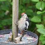 Young male Greater Spotted Woodpecker