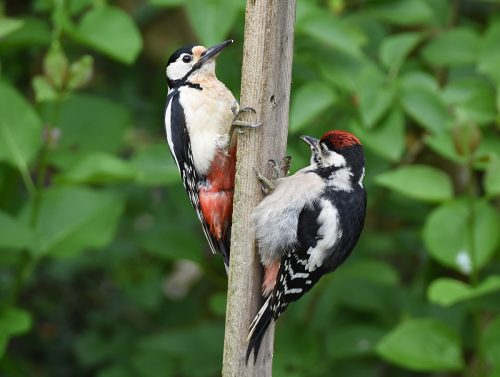 Mother and juvenile Great Spotted Woodpecker