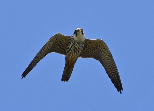 Hobby at Dungeness
