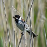 Male Reed Bunting Dungeness