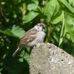 Tree Sparrow at Dungeness