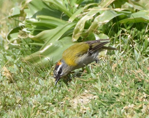 Firecrest at Dungeness