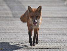 Vixen Fox approaching head on