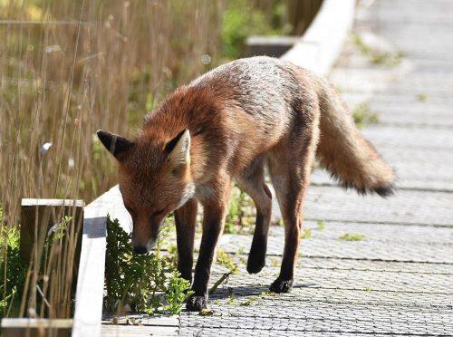 Vixen Fox marking territory
