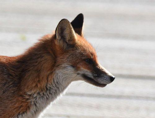 Vixen Fox side view