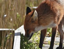 Fox sniffing territory
