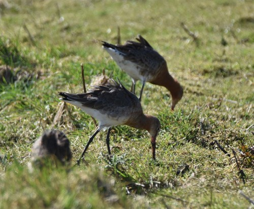 Black Tailed Godwits at Titchfield Hampshire