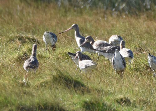 Black Tailed Godwits grazing