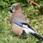 Jay under Bird Feeders
